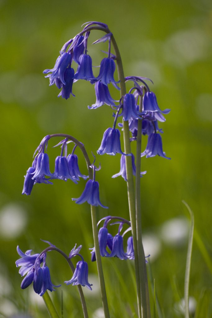 Bluebell - iStock_000005028624_Large
