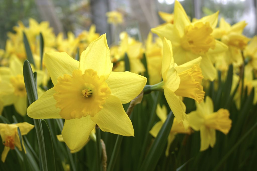 Blooming brilliant britains top wild flowers yellow daffodils mightylinksfo