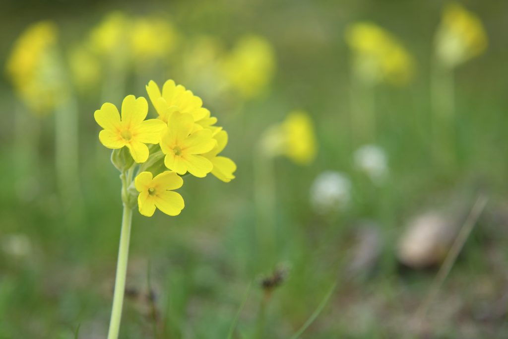 Blooming brilliant britains top wild flowers found in damp clay like soils of woodland and hedgerows this tiny little yellow flower apparently symbolises innocence and fear mightylinksfo