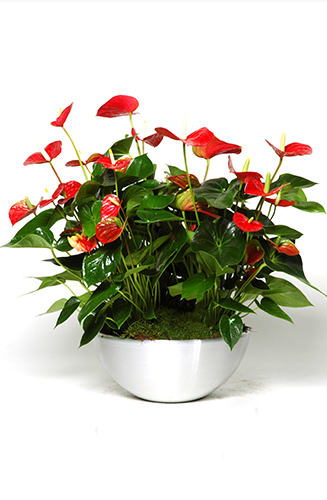 Plant-bowl-Anthurium