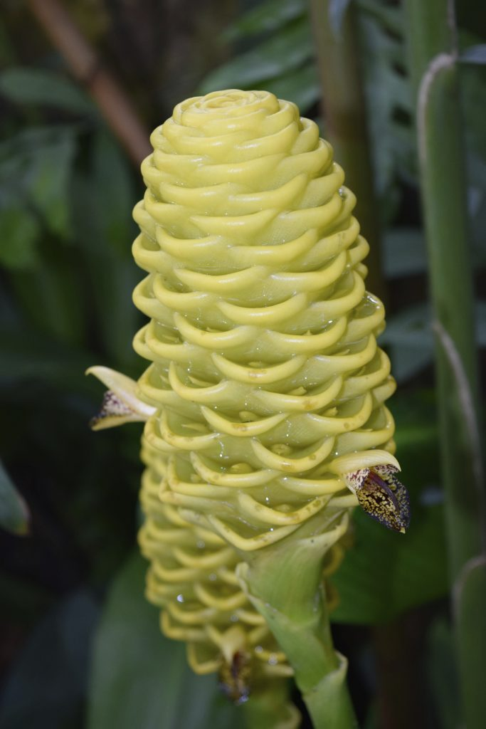 Close up Yellow Beehive Ginger - Zingiber spectabile. - iStock_000071373705_Medium