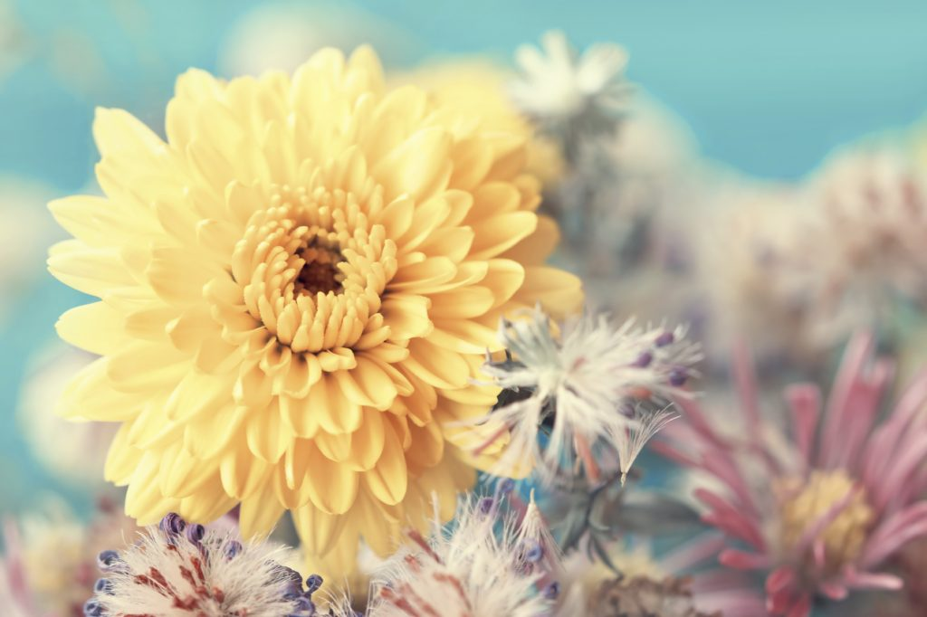 Yellow Aster Close Up -iStock_000030211158_Large