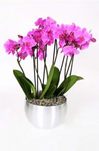 PINK-PHALANOPSIS-ORCHID-BOWL-327x500