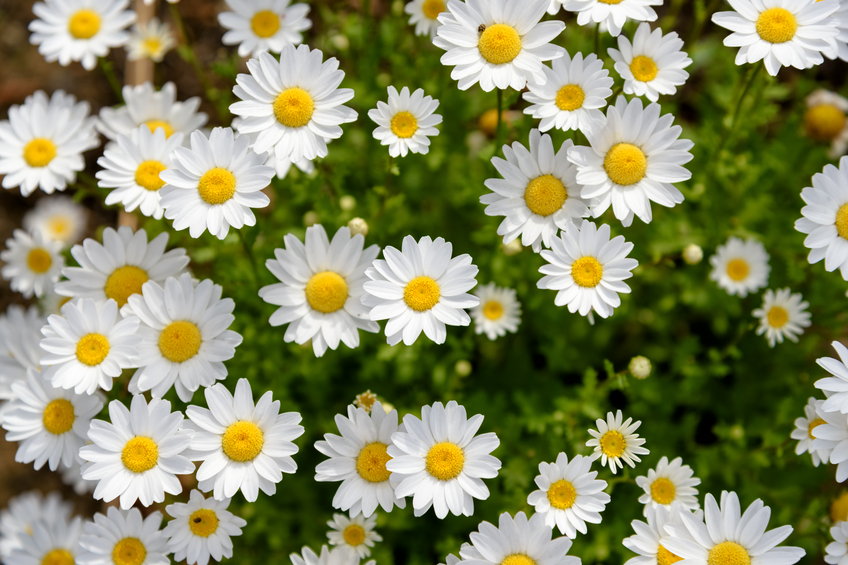 North Pole. (Leucanthemum paludosum) (Flower-beds in the spring)
