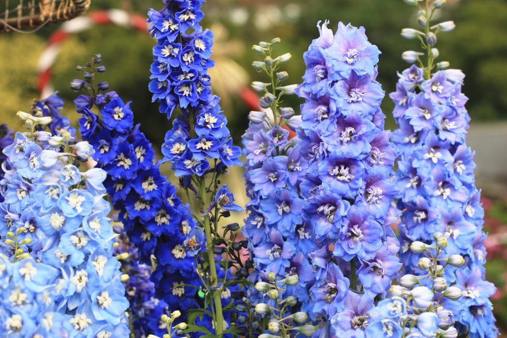 Delphinium,Candle Delphinium,many beautiful purple and blue flowers blooming in the garden,English Larkspur,Tall Larkspur