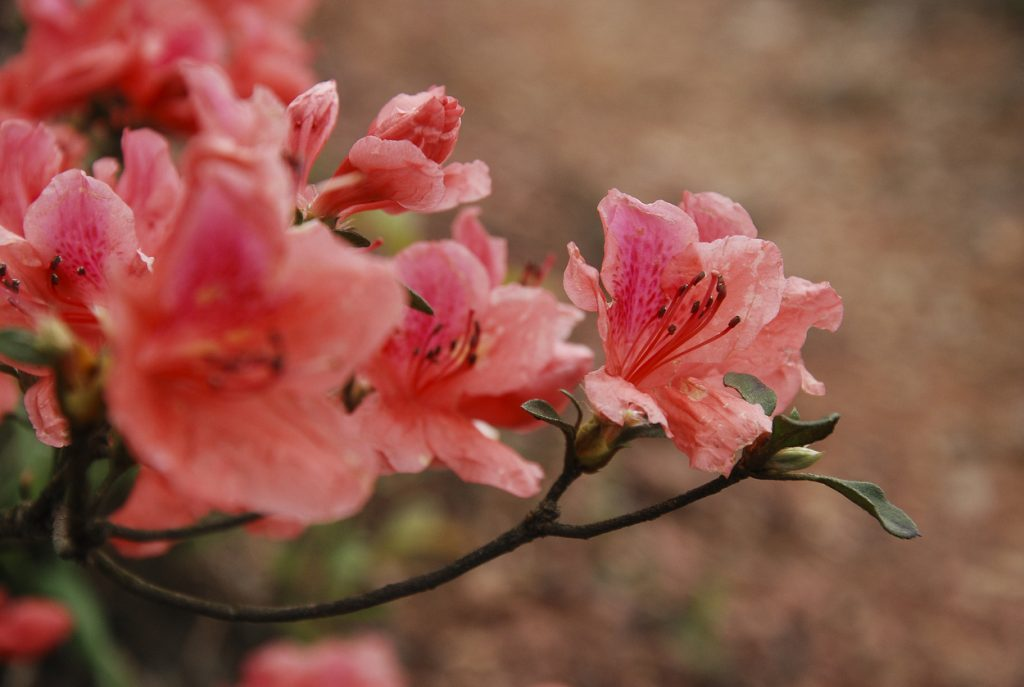 Beautiful blooming azalea flowers