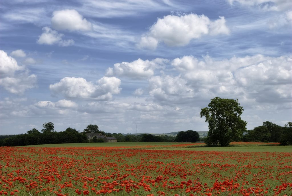 """A Poppy Field in Northumberland, Northern England"""