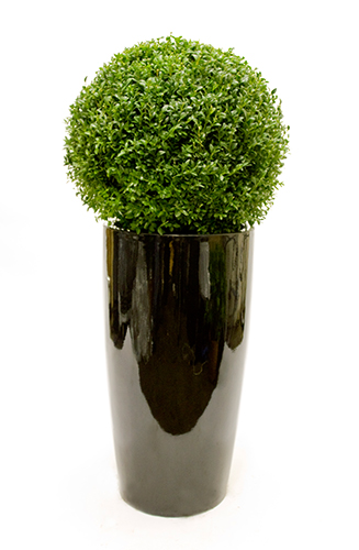 Buxus Ball in oversized planter