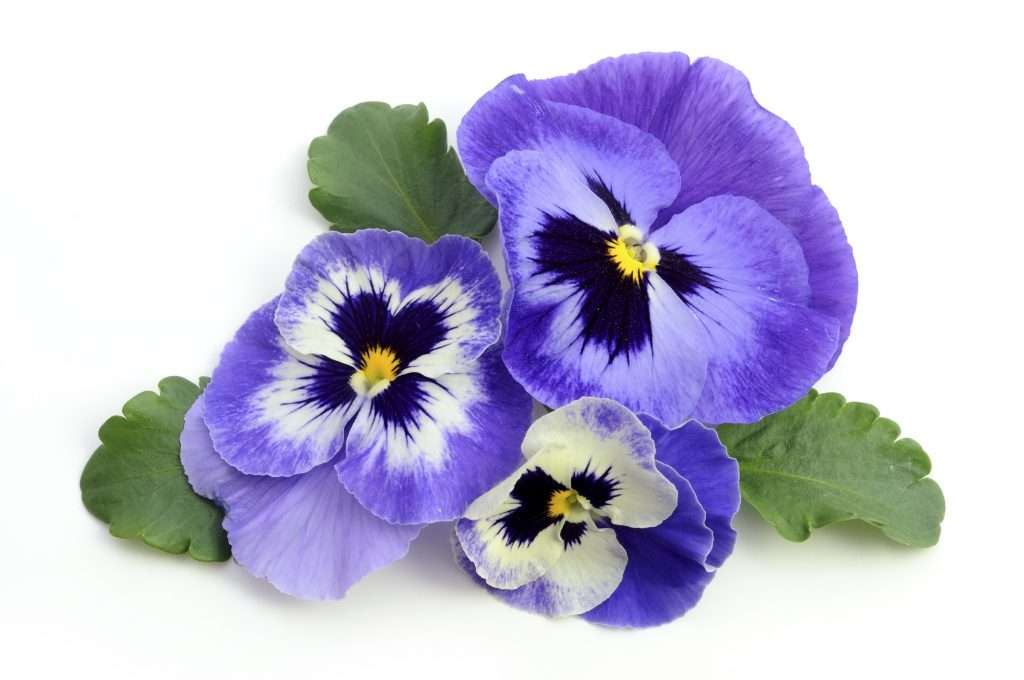 Pansy - iStock_000016340589_Large