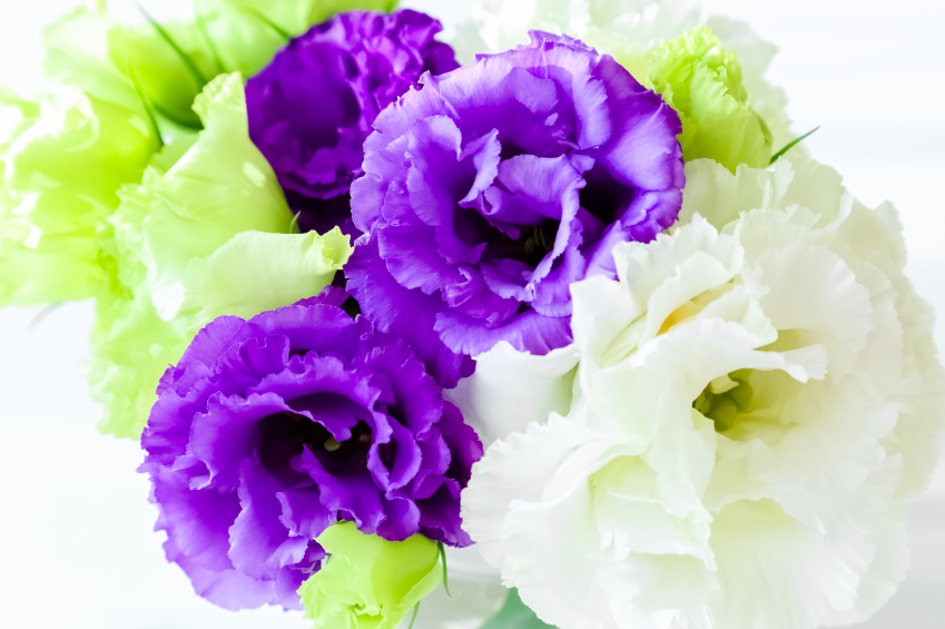 Violet Eustoma iStock_000090026739_Small