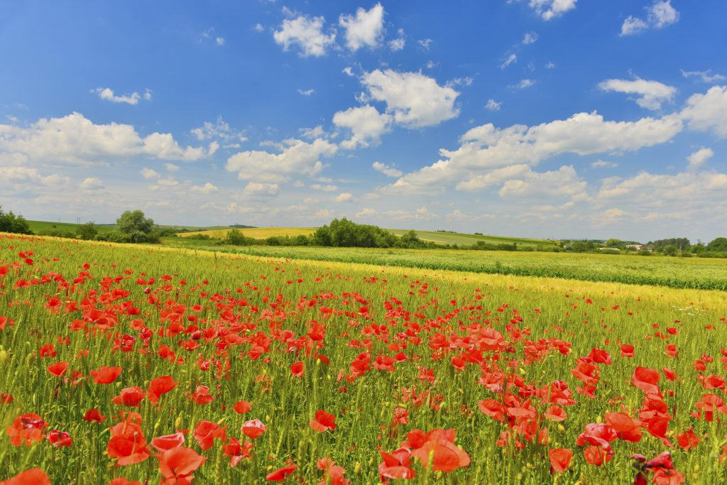 Summer field full of sunny poppies