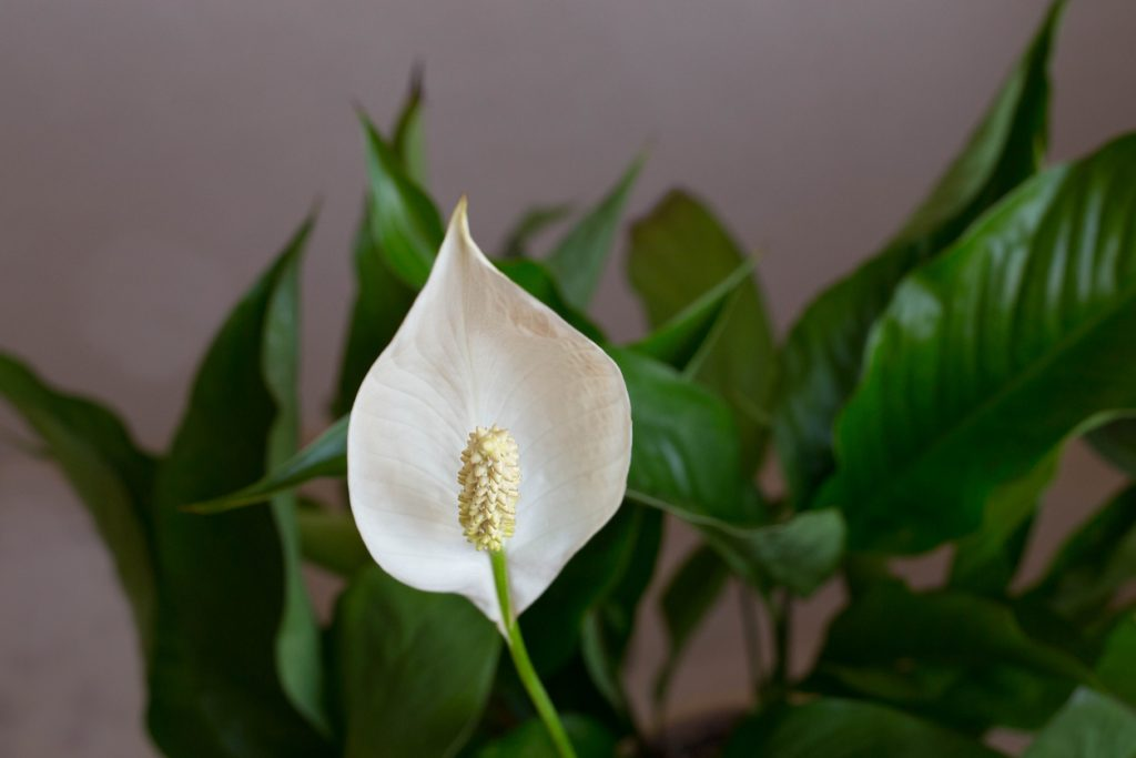 White spathiphyllum with green leaves