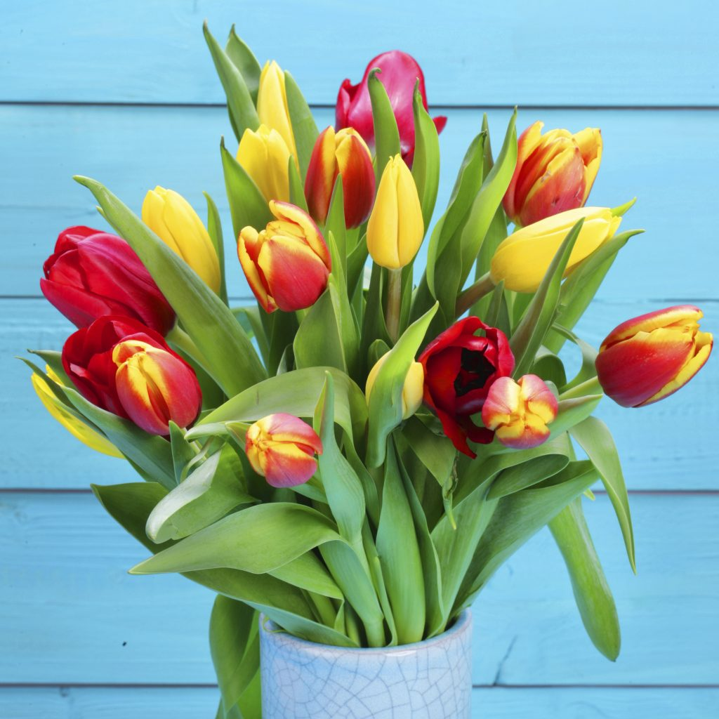 bunch od red and yellow tulips with blue background